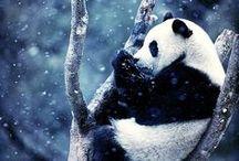Pandas / my favourite kind of bears :P