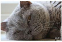 Fotografie - Huisdieren - Onze Britse Korthaar ... King Hummer / Foto's Britse Korthaar