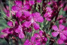 Caprifoliaceae - Campanulaceae - Boraginaceae - Amaryllidaceae / digitalisierte Dias meines Vaters Hans Hermann (1926-2001)