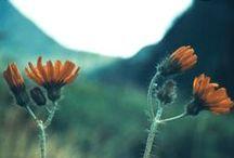 Cruciferae - Crassulaceae  -  Compositae / digitalisierte Dias von Hans Hermann (1926-2001)