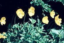 Ranculaceae - Primulaceae - Papilionaceae - Papaveraceae / digitalisierte Dias von Hans Hermann (1926-2001)