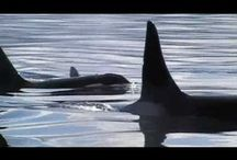 Whale Watching Videos / Best whale watching experience in Victoria BC as rated on Trip Advisor since 2007.