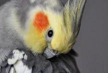 Neitokakadut, papukaijat ja muut lemmikit / Birds i love