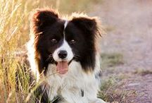 LOVE BORDER COLLIES :)