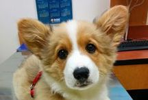 WELSH CORGI !!!