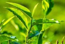 Te - Tea / Grænt te, grøn te, sort te tekanne tebrev teløv teurter helbredene te urtete yogite