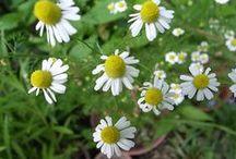 Herbs- Krydderurter- Kryddjurtir / Fresh herbs and spices