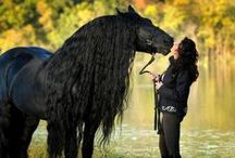 Friesian Horses / Friesian horses,magnificent flowing mane and tails