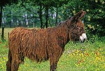 Donkeys and mules / Donkeys , mules, burros