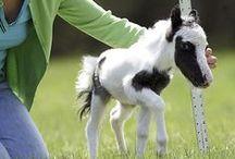 Minis, Little Horses / Minature horses and small horses