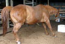 Founder or Laminitis  in Horses / Founder, laminitis, in Horses