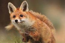 Fox / Raposa