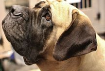 Mastiffs / by Sara Gati