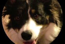 My Border Collie / A dogs life in Norway