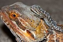 Bearded Dragon Articles / My articles from BeardedDragons.co.za