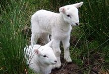 ♡ Moutons & chêvres ... ♡