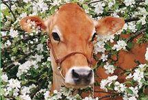 ♡ Vaches & veaux ... ♡