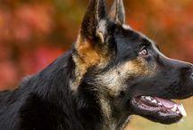 Tess / German sheperd dog