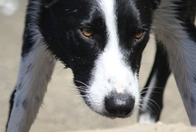 Border Collies / This page is dedicated to my Eli, a smooth coated Border Collie. He is under treatment for Systemic Histiosytosis. We are enjoying one day at a time :)   This board is now full and continues on the next board ~ BorDer CoLLies too