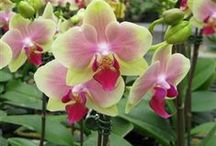 Christmas Orchid Flowers / by 1888Orchids