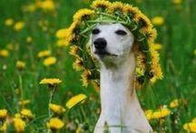 Italian Greyhounds & Staffies