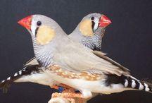 Fåglar/ birds / Birds-most Zebrafinches