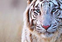 White / White Tigers