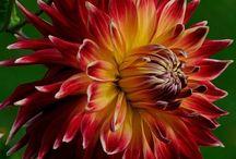 Dahlias / by Gillian Poets
