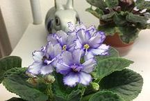 African Violets / I love African Violets and grow them to show. I belong to AVSA (African Violet Society of America). If you would like information on how to successfully grow African Violets, just reach out to me. Toni Weidman #Trinity Fl. #Africanviolets