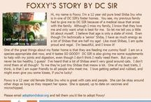 Foxxy - Adopted! / Hi, my name is Foxxy. I'm a 12 year old pure bred Shiba Inu who is in one of DC SIR's foster homes. You see, my previous family had to give me to DC SIR because of a medical issue that arose with the family.  love getting petted and rubbed, and might even give you some kisses, if you're lucky!