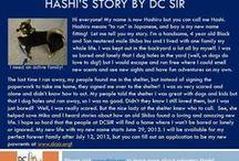 Hashi - Adopted! / Hi everyone! My name is now Hashiru but you can call me Hashi. I'm a handsome, 4 year old Black and Tan neutered male Shiba Inu.