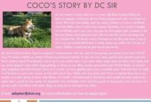 Coco - Adopted! / Hi, my name is Coco and I'm a 6 year old Red female Shiba Inu born in Japan.