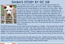 Simba - Adopted! / Hi, my name is now Simba. I am a pure bred male red Shiba Inu.