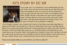 Kii - Adopted! / Hi! My name is Kii. I'm a handsome 2 year old Red Shiba Inu!