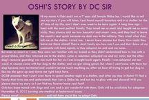 Oshi - Adopted! / Hi my name is Oshi and I am a 7 year old female Shiba Inu.