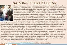 Natsumi - Adopted! / Shiba Inu - 13 yr F - Cream