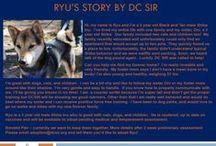Ryu - Adopted! / Meet Ryu, a 2 yr old male Shiba Inu