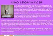Akiko - Adopted! / Akiko - Shiba Inu - 1 year old - Cream