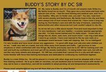 Buddy - Adopted! / Shiba Inu - 9 month old - Male - Sesame