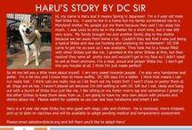 Haru - Adopted! / 4 year old red male Shiba Inu