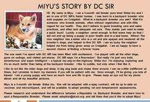 Miyu - Adopted! / Shiba Inu - 3 months - female - Sesame