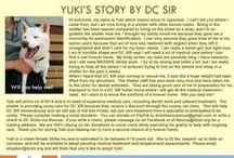 Yuki - Adopted! / Shiba Inu -Senior - Cream - Female
