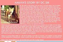 Amaya - Adopted! / Female - Shiba Inu - Puppy - Red
