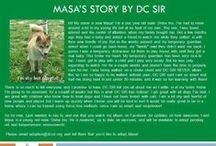 Masa - Adopted! / Male - Shiba Inu - 1 Year Old - Red