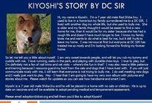 Kiyoshi - Adopted! / Kiyoshi - Shiba Inu - Male - 7 yr