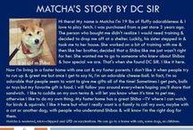 Matcha - Adopted! / Shiba Inu - Male - 3 Year Old - Black & Tan
