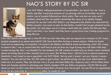 Nao - Adopted! / Shiba Inu - 2 yr - Male - Black & Tan