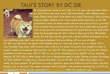 Taiji - Adopted! / Shiba Inu - Red - 4 yr old - Male