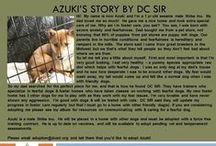 Azuki - Adopted! / Male - Sesame - Shiba Inu - 1 year 3 mo