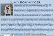 Sumi - Adopted! / Male - Shiba Inu - Senior (10 Yr Old) - Red